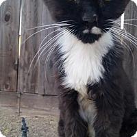 Adopt A Pet :: Kitten - Sacramento, CA