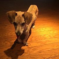 Adopt A Pet :: John Wayne Dachshund/Chi - Corona, CA