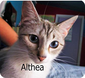 Siamese Cat for adoption in Wichita Falls, Texas - Althea