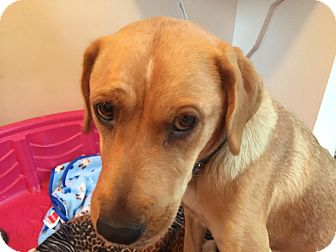 Labrador Retriever/Chow Chow Mix Dog for adoption in Gallatin, Tennessee - Jelly