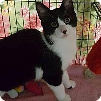 Domestic Shorthair Kitten for adoption in Freeport, New York - Star