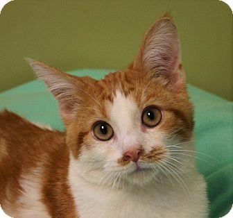 Domestic Shorthair Kitten for adoption in Hastings, Nebraska - Sunkist