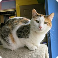 Domestic Shorthair Cat for adoption in Northbrook, Illinois - Hunny