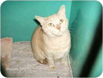 Domestic Shorthair Cat for adoption in Boston, Massachusetts - Katie