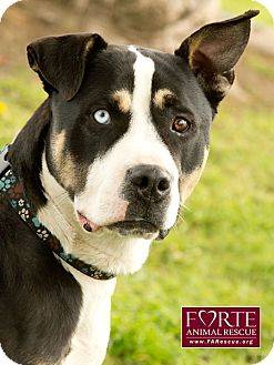 Greater Swiss Mountain Dog/Siberian Husky Mix Dog for adoption in Marina del Rey, California - Henry Blue