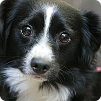 Adopt A Pet :: Chispita - Canoga Park, CA