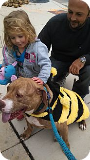 American Pit Bull Terrier Mix Dog for adoption in Burleson, Texas - Pete-Courtesy post