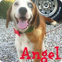 Adopt A Pet :: Angel - Brazil, IN