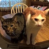 Adopt A Pet :: Little Sammie - New Egypt, NJ