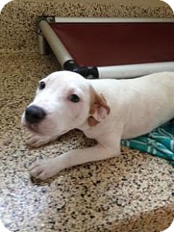 Pit Bull Terrier Mix Puppy for adoption in Aiken, South Carolina - Ginger