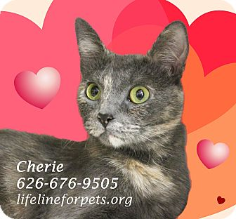 Domestic Shorthair Cat for adoption in Monrovia, California - CHERIE