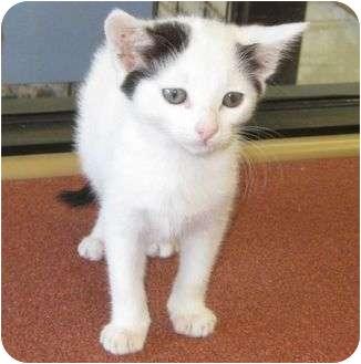 American Shorthair Kitten for adoption in Riverside, California - Squeaks