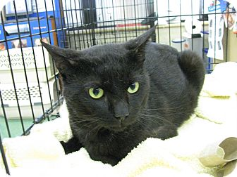 Domestic Shorthair Cat for adoption in Vero Beach, Florida - Rascal Roan