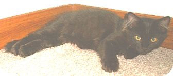 Domestic Mediumhair Kitten for adoption in Milwaukee, Wisconsin - Ash - in foster care