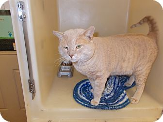 Domestic Shorthair Cat for adoption in Heber Springs, Arkansas - O'Malley