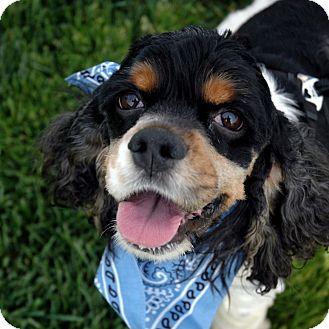 Cocker Spaniel Mix Dog for adoption in Sacramento, California - Kona