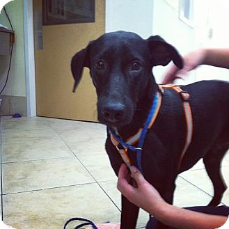 Labrador Retriever/Pointer Mix Dog for adoption in Madison, New Jersey - Rafael