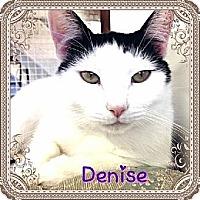 Domestic Shorthair Cat for adoption in Huntington, New York - Denise