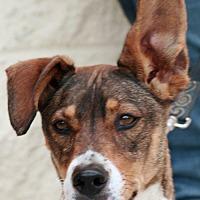 Beagle Mix Dog for adoption in Palmdale, California - Noah