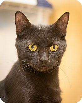 Domestic Shorthair Cat for adoption in Circleville, Ohio - Coco