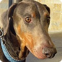 Adopt A Pet :: Goofy - Las Vegas, NV