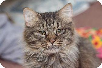 Domestic Longhair Cat for adoption in Asheville, North Carolina - Boris