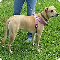 Adopt A Pet :: GOLDY - hollywood, FL