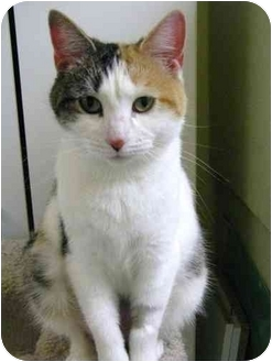 Domestic Shorthair Cat for adoption in Markham, Ontario - Wanda