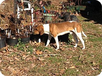 Coonhound Dog for adoption in Hilham, Tennessee - Copper