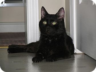 Domestic Shorthair Cat for adoption in Columbia, Maryland - Screechy