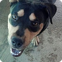 Adopt A Pet :: Dillinger - Costa Mesa, CA