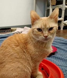 Domestic Shorthair Cat for adoption in Denver, Colorado - Hop