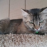 Domestic Mediumhair Cat for adoption in Madera, California - Miss Kitty Glitter