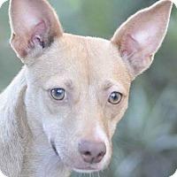 Adopt A Pet :: Cricket - Ormond Beach, FL