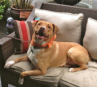 Labrador Retriever/American Staffordshire Terrier Mix Dog for adoption in Burbank, California - Sweet Lucas
