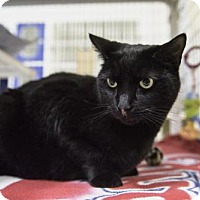 Domestic Shorthair Cat for adoption in Parma, Ohio - Velvetine