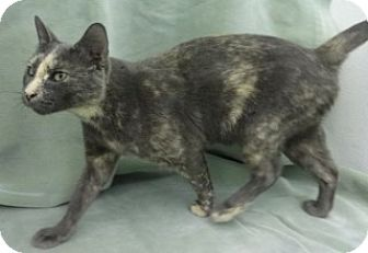 Domestic Shorthair Cat for adoption in Olive Branch, Mississippi - Spice