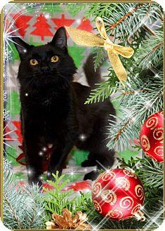 Maine Coon Kitten for adoption in Richmond, Virginia - Sasha