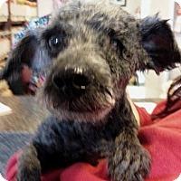 Adopt A Pet :: Rolo - West Los Angeles, CA