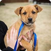 Terrier (Unknown Type, Medium)/Terrier (Unknown Type, Medium) Mix Puppy for adoption in Brattleboro, Vermont - Layla