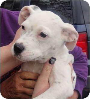 American Bulldog Mix Puppy for adoption in Fairmount, Georgia - Ty