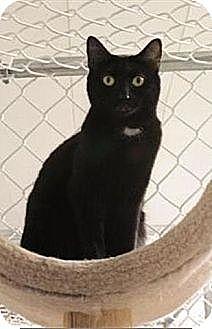 Domestic Shorthair Cat for adoption in Freeport, New York - Sparkle