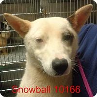 Adopt A Pet :: Snowball - baltimore, MD