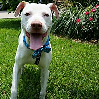 Pit Bull Terrier Mix Puppy for adoption in Lake Charles, Louisiana - Snow