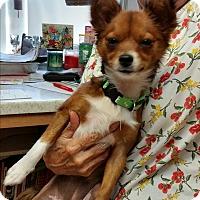 Adopt A Pet :: Gigi - Pinellas Park, FL