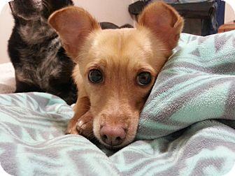 Chihuahua/Italian Greyhound Mix Dog for adoption in Phoenix, Arizona - Chewy