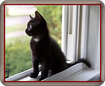 Domestic Shorthair Kitten for adoption in Mt. Prospect, Illinois - Washington
