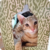 American Shorthair Kitten for adoption in Los Angeles, California - MO