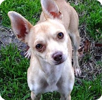 Chihuahua Mix Dog for adoption in Lathrop, California - Paco