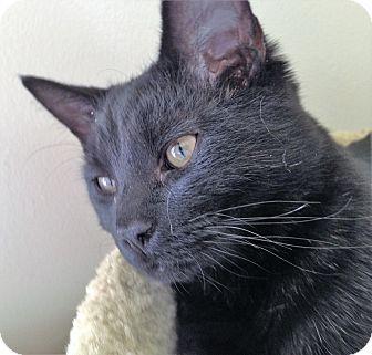 Domestic Mediumhair Kitten for adoption in Fairfax, Virginia - Elias